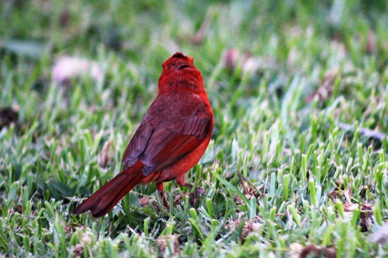 Animal Themes Animal Wildlife Animals In The Wild Beauty In Nature Bird Canonphotography Close-up Day Grass Nature No People One Animal Outdoors Perching Red Redbird