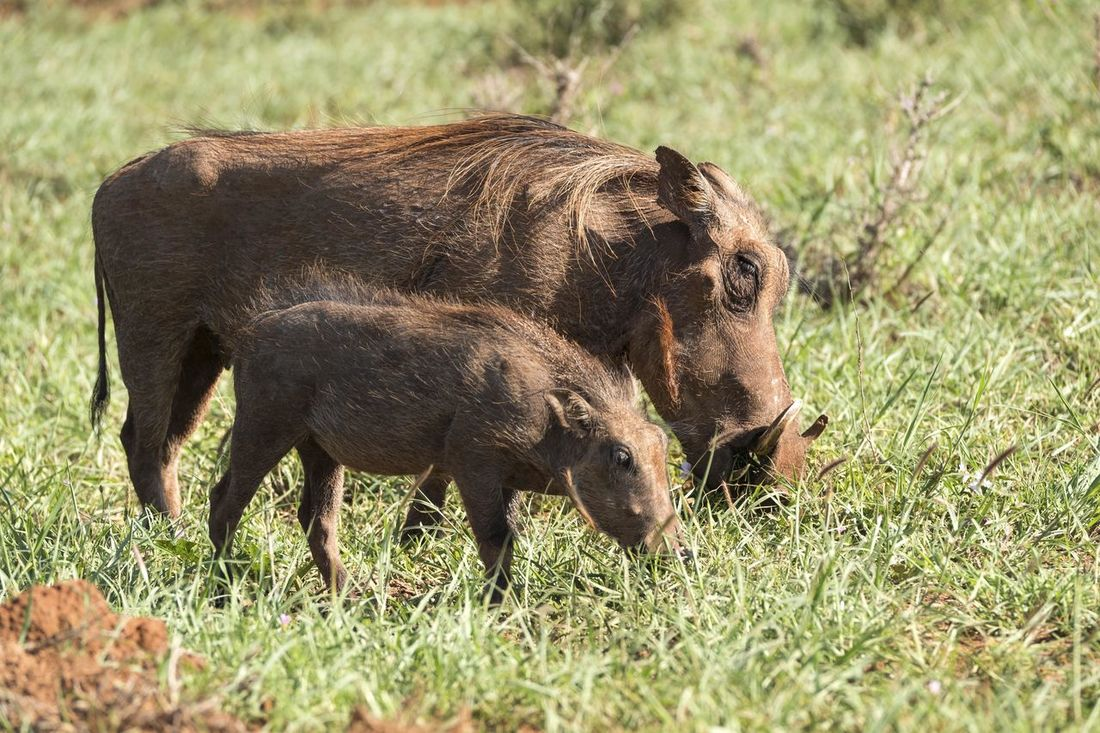 African Bush Animal Love Safari Animal Themes Animals In The Wild Baby Hog Day Field Grass HOG Mammal Mother Hog Nature No People Outdoors Pig Piglet Togetherness Young Animal