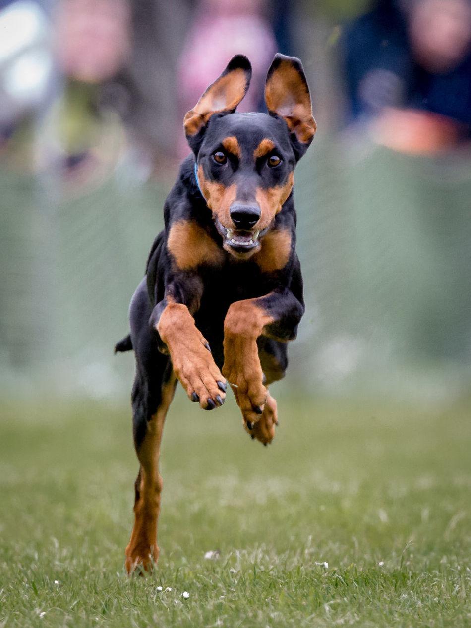 Animal Themes Dog From Ahead One Animal Pets Portrait Racing Dog Running Dog