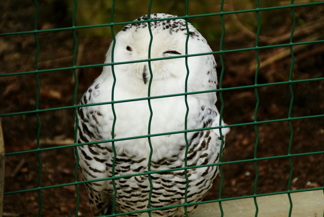 Animal Themes Bird Cage Animals In Captivity Close-up Animal Wildlife No People One Animal Birdcage Budgerigar Animals In The Wild Nature Perching Day Outdoors Owl Owl Eyes Spring Feather  Pile Plumage Animal Zoo Animals  Zoophotography Zoo Adapted To The City