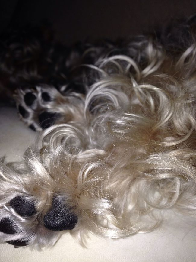 Curls Furry Long Fur Paws Indoors  Pets Dog One Animal Domestic Animals Close-up Mammal