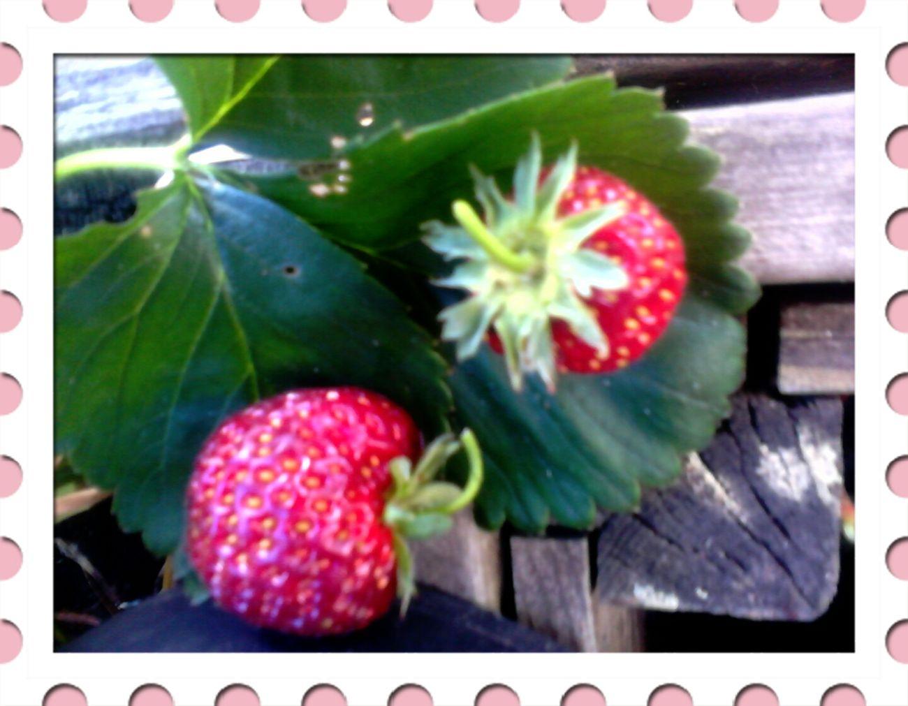 Strawberries rescued from my backyard B-) Strawberries Summer Food EyeEm Best Shots EyeEm Nature Lover