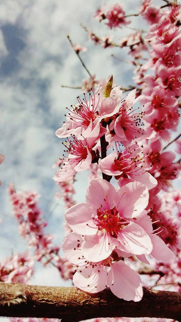 Low Angle View Of Plum Blossoms Against Sky During Springtime
