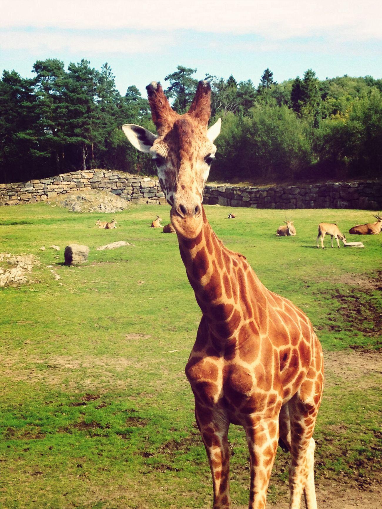 Kristiansand Giraffe