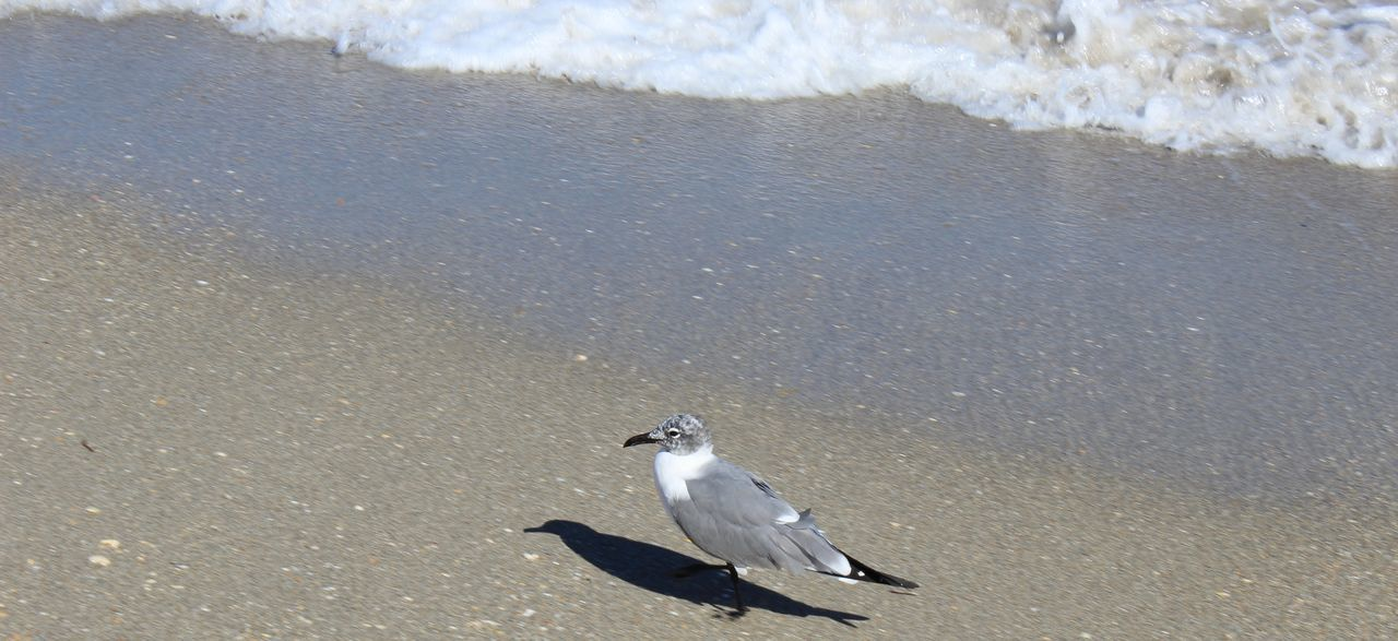 bird, animals in the wild, animal themes, beach, one animal, animal wildlife, water, seagull, black-headed gull, nature, day, sea, sand, no people, outdoors, perching, beauty in nature, spread wings