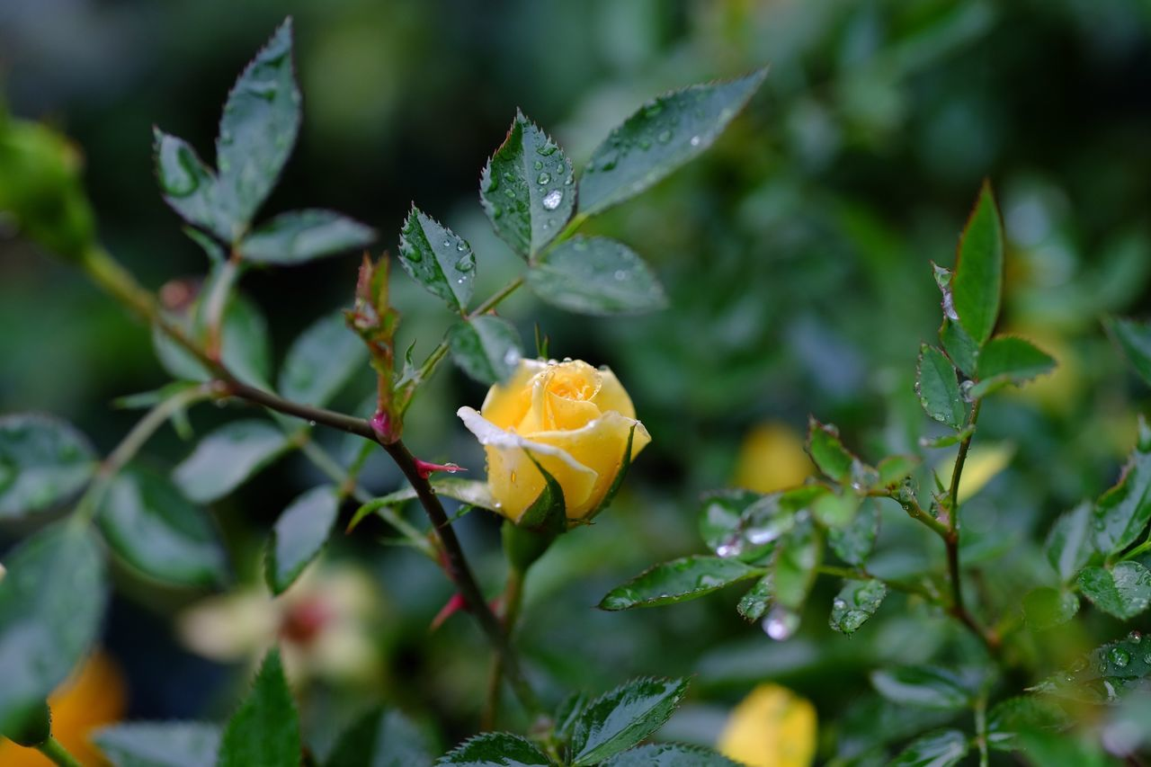 Growth Fragility Nature Freshness Flower Beauty In Nature Plant Petal Leaf Flower Head Close-up Blooming Yellow Outdoors No People Day Green Color Yellow Rose EyeEm Phillipines EyeEm Nature Lover FUJIFILM X-T10 Beauty In Nature