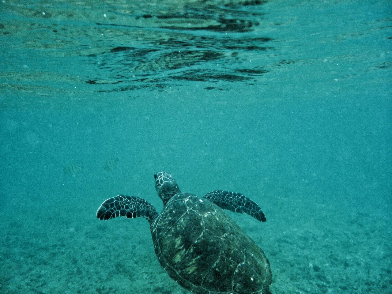 A turtle swiming off the coast of Kauai Hawaii Protecting Where We Play Underwater Capture The Moment