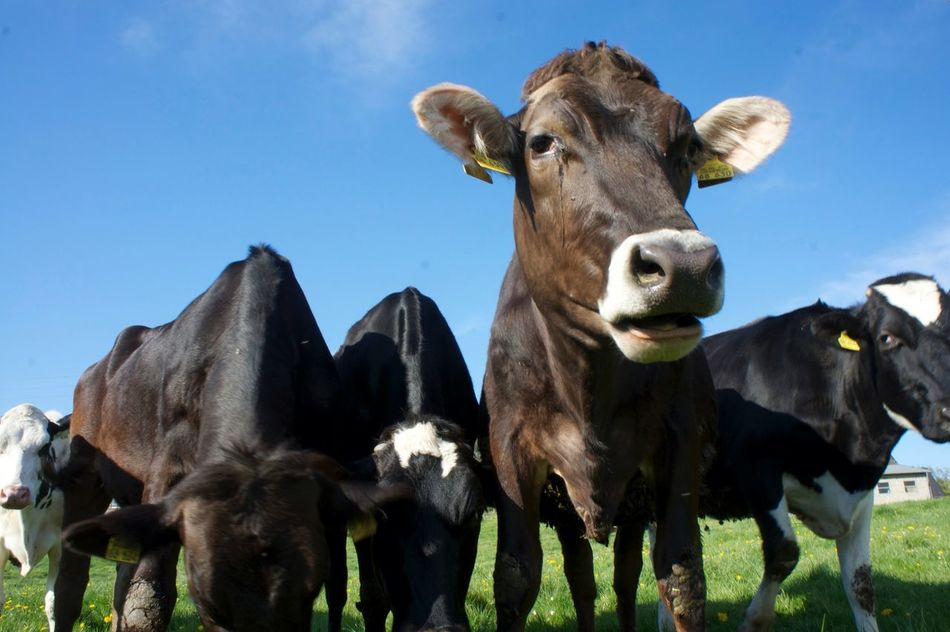 Beautiful stock photos of cow, Animal Themes, Cow, Day, Domestic Animals
