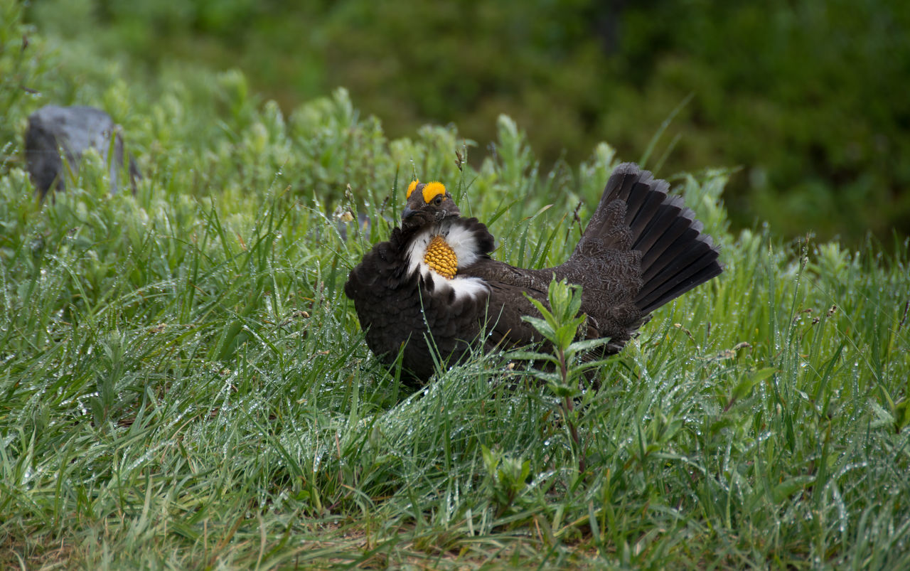 Sooty Grouse Beauty In Nature Bird Black, White & Yellow Grouse Mount Rainier Mountain Nature Washington State Wildlife