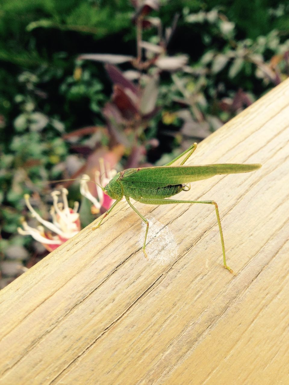 animals in the wild, one animal, animal themes, insect, green color, animal wildlife, wood - material, no people, nature, focus on foreground, grasshopper, day, close-up, outdoors, plant, growth, perching