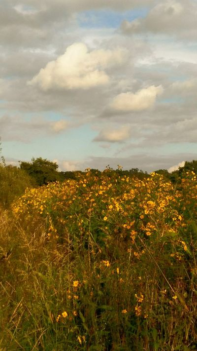 Field Yellow Flower Growth Beauty In Nature Cloud - Sky Idyllic Landscape Nature Relaxing Time No People Landscape_photography Landscapes Relaxing Still Life Nature_collection Naturelovers Nature Photography Nature Reserve Rheinland Langenfeld