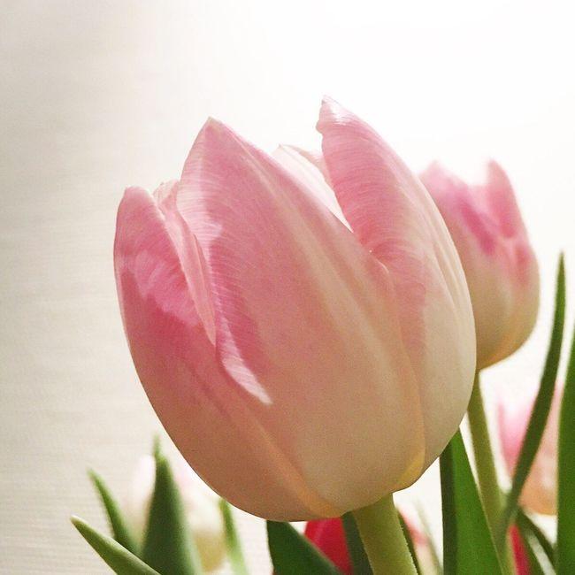 Tulips Spring Springtime Spring Flowers Flowers Pink Flower Pink