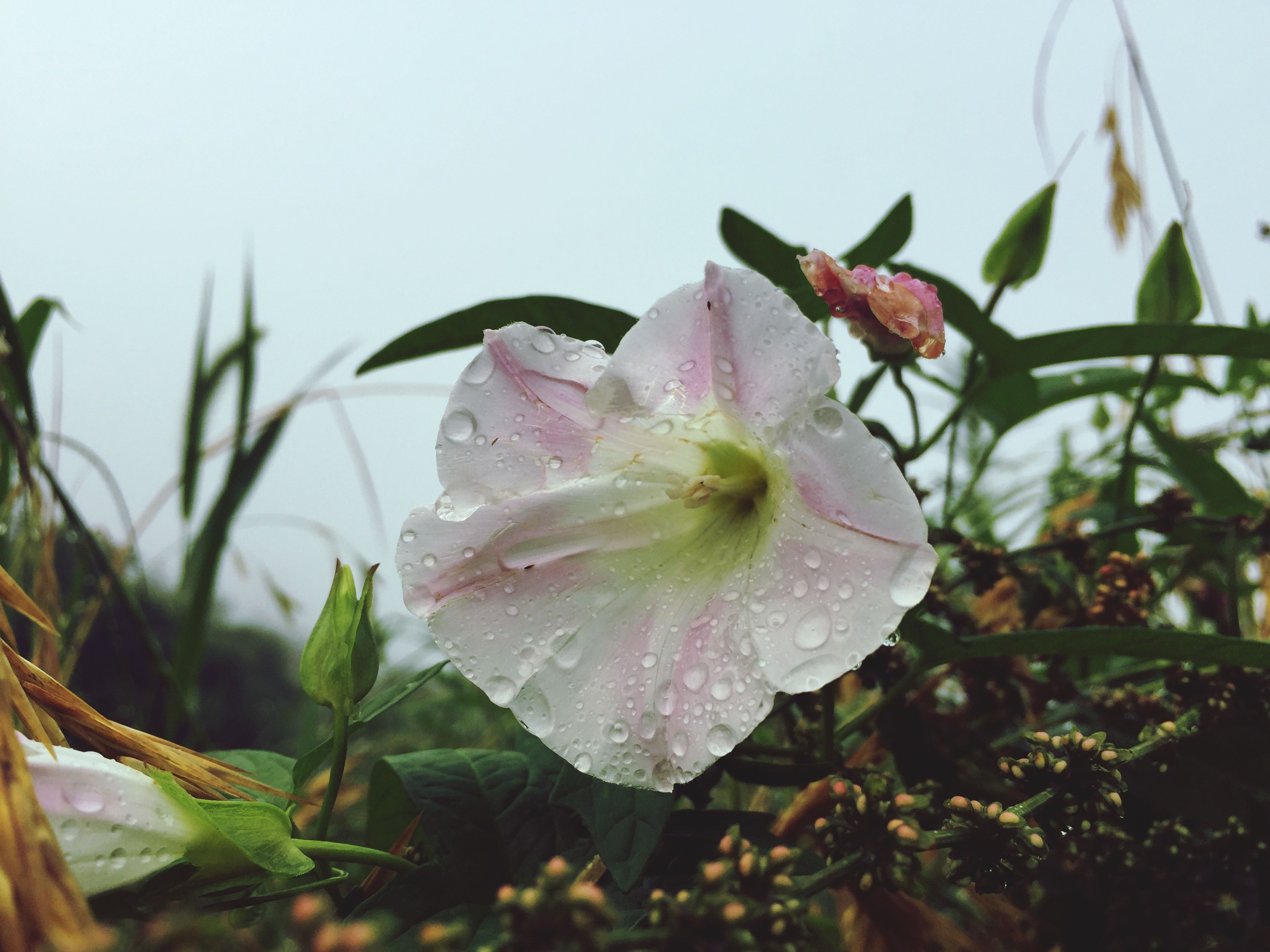 drop, flower, petal, wet, water, nature, fragility, growth, beauty in nature, no people, close-up, leaf, flower head, freshness, pink color, raindrop, plant, day, focus on foreground, rose - flower, outdoors, blooming, periwinkle