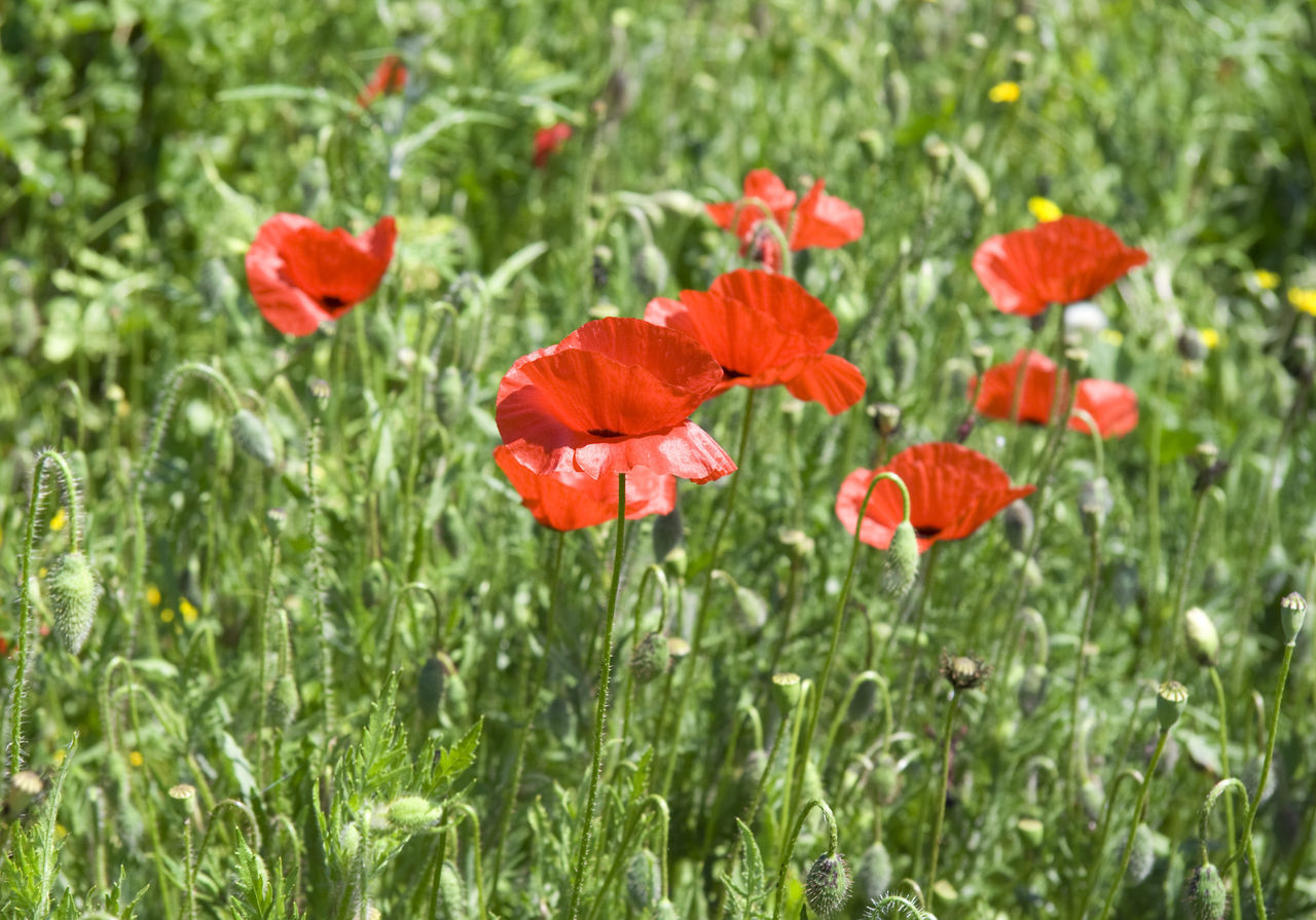 red poppies on a meadow - spring on the french riviera Beauty In Nature Blooming Close-up Côte D'Azur Flora Flower Flower Head Fragility France Freshness Growth Mediterranean  Nature No People Papaver Petal Plant Poppy Poppy Fields Poppy Flower Poppy Flowers Provence Red Wild Wildflower