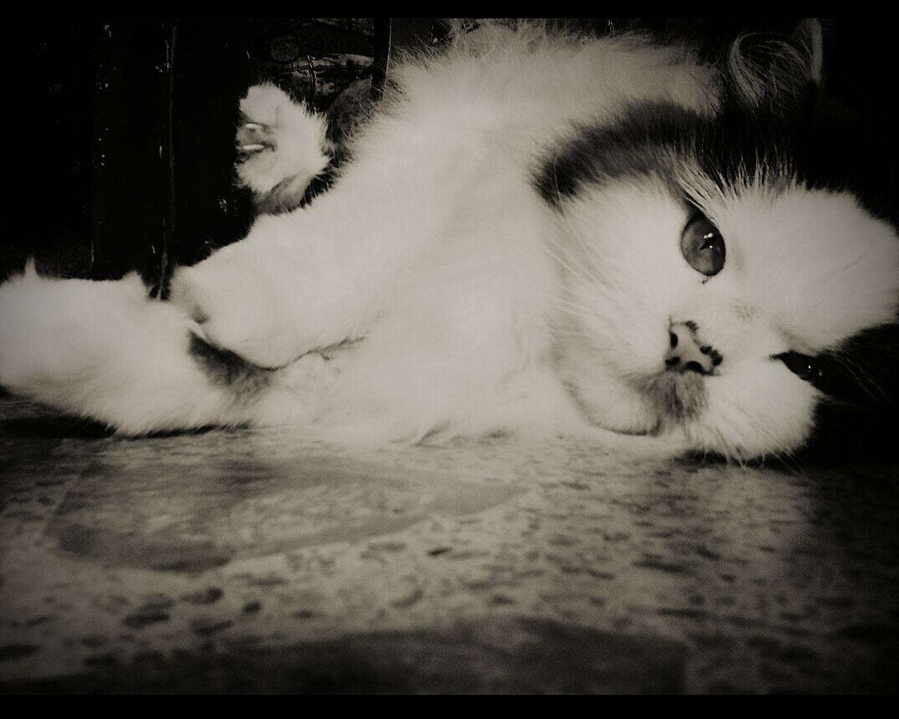 domestic cat, pets, domestic animals, animal themes, cat, indoors, feline, one animal, mammal, no people, close-up, day