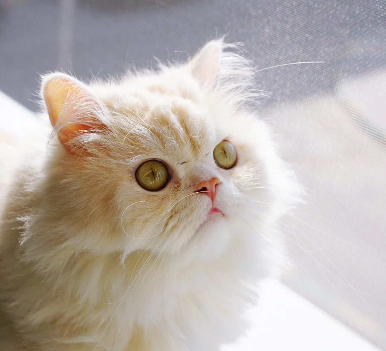 domestic cat, feline, pets, domestic animals, animal themes, mammal, whisker, one animal, cat, indoors, no people, portrait, close-up, persian cat, day