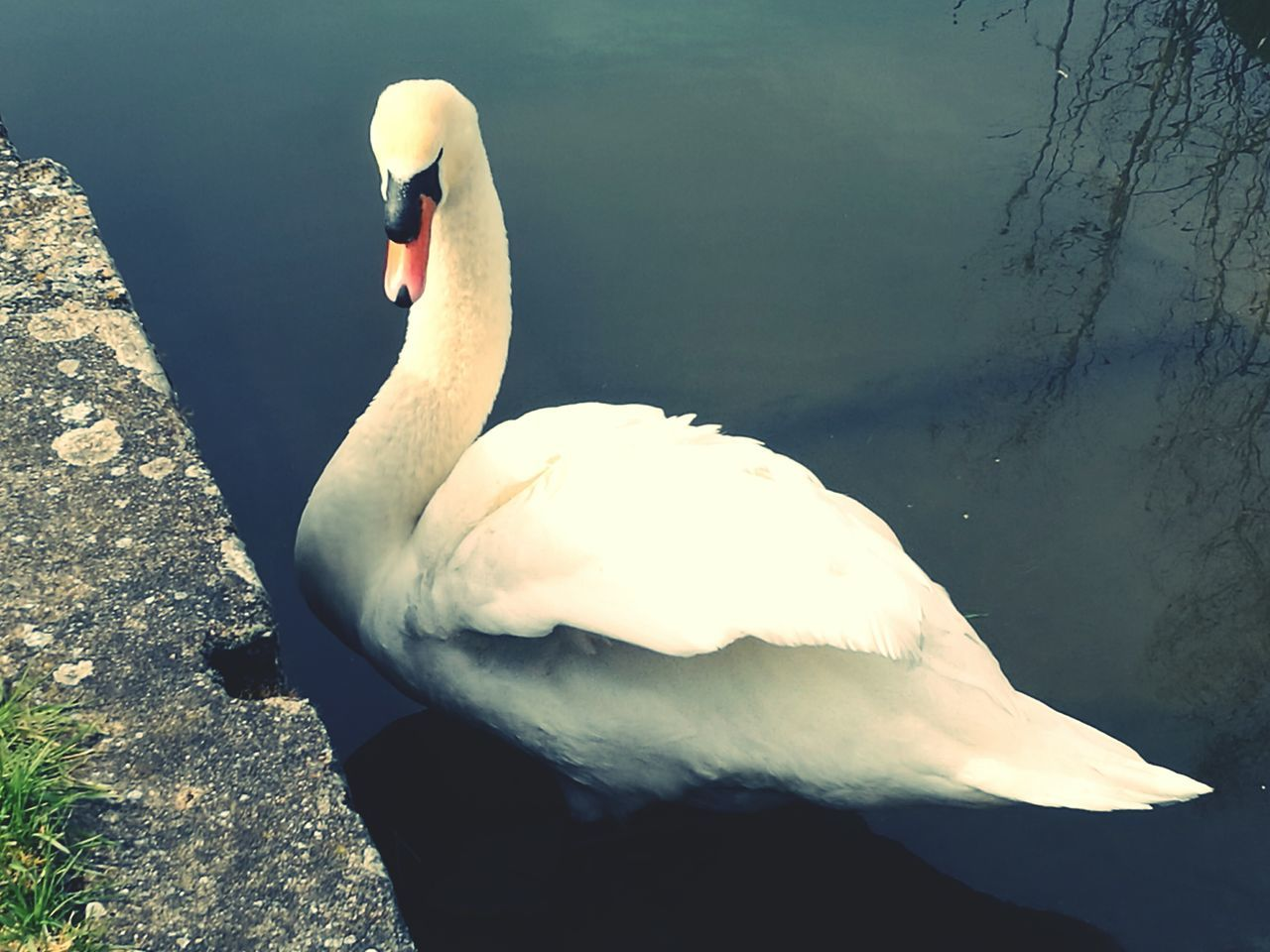 animals in the wild, animal themes, bird, one animal, animal wildlife, swan, white color, no people, day, beak, nature, lake, water, water bird, outdoors, close-up, beauty in nature, swimming, perching
