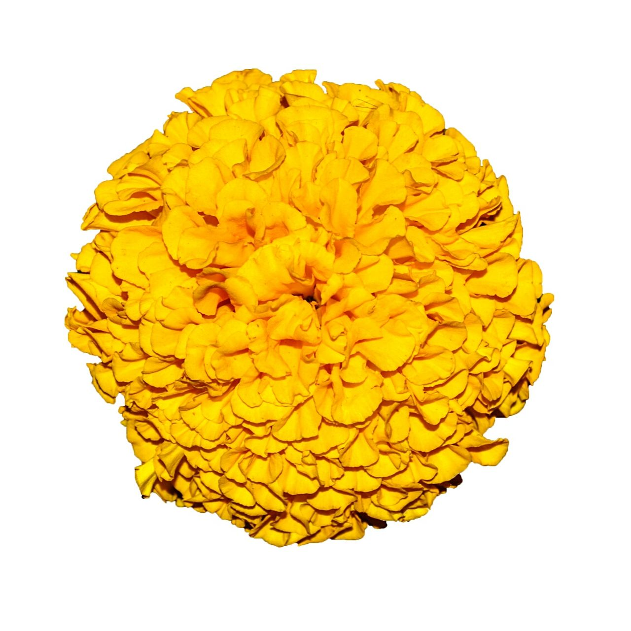 Yellow marigold flower isolated on white background. Marigold Marigold Flower Marigold🌻🌻 Marigoldflower Yellow Orange Flower Isolated On White Cutout Edit Cut Out Cut Out On White Flower Collection Flower Photography Flowers_collection Floweroftheday Calendula Officinalis Tagetes Dwarf Double Orange Marigold Yellow Marigolds Whorl Botany EyeEm Flowers Collection Flower Fantasy Flowers In My Garden Flower Collection Single Flower