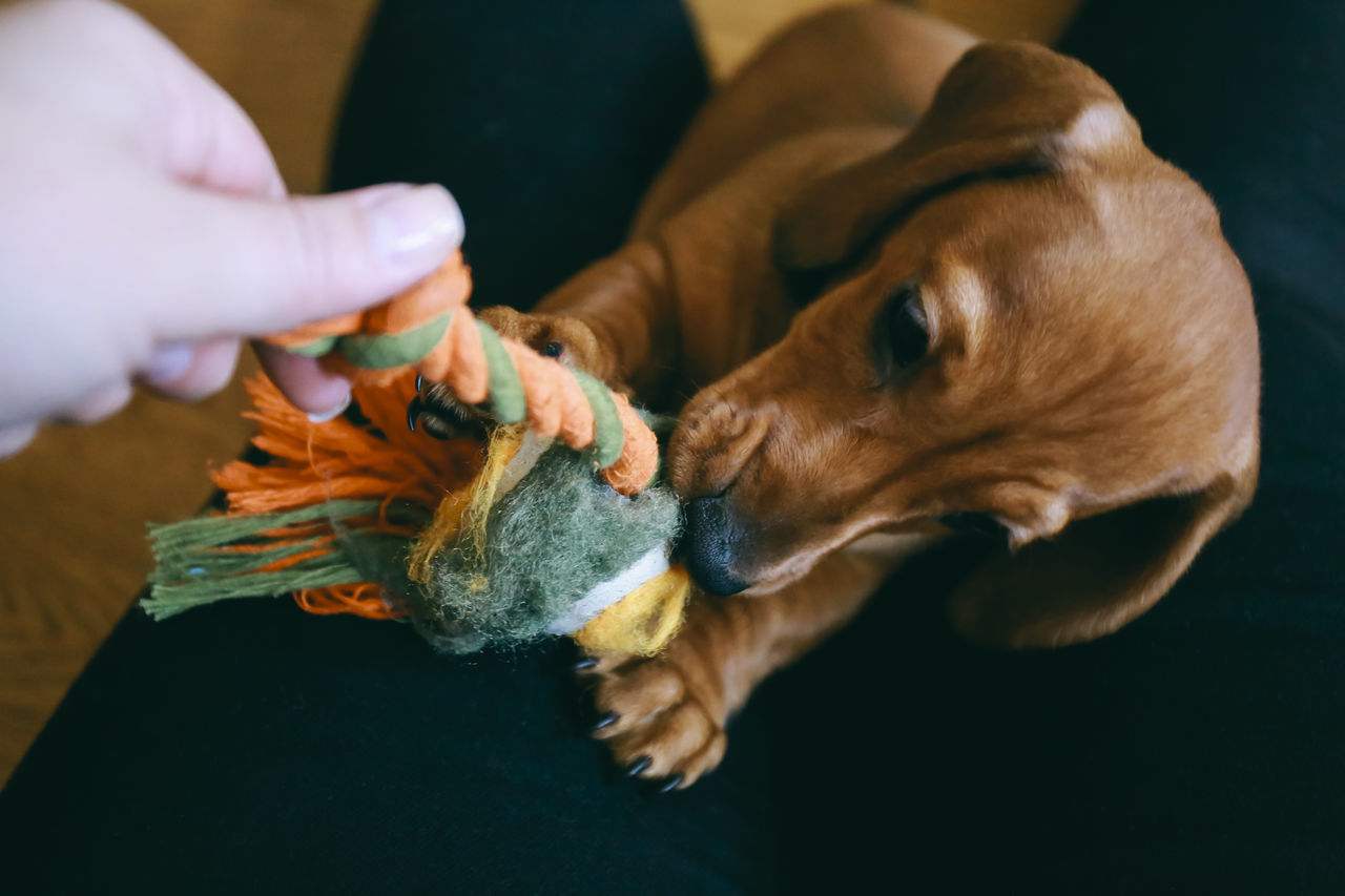 Fun times Animal Themes Care Close-up Dachshund Dog Domestic Animals Friendship Fun Holding Human Body Part Human Hand Indoors  Love Mammal One Animal One Person Owner Pets Play Puppy Real People Toy