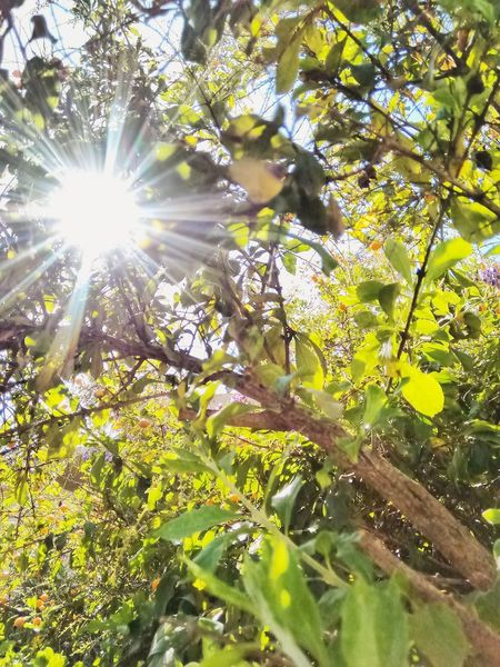 Sol a travez de un arbol. (Sun thru a tree) Nature Low Angle View Sunlight Tree Sunbeam Growth Sun Beauty In Nature Lens Flare Outdoors Green Color Leaf No People Plant Tranquility Close-up Sky Best Eyem Photo Best Eyeem Pics Best Of EyeEm Best Shots EyeEm Nature Plant First Eyeem Photo