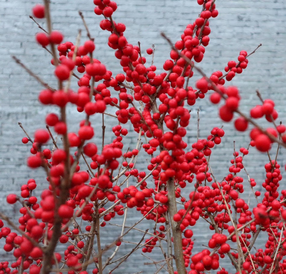 Red Growth Nature Rowanberry Freshness Bush Beauty In Nature Close-up Berry Bush Branches Plants Shrub Plant Background Berrys