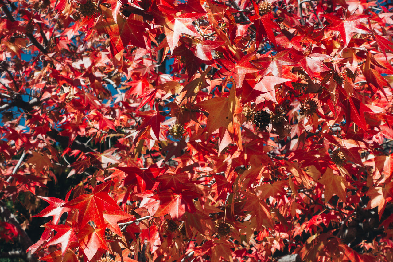 Backgrounds Leaf Maple Maple Leaf Maple Leafs Maple Tree Mapleleaf Nature Red