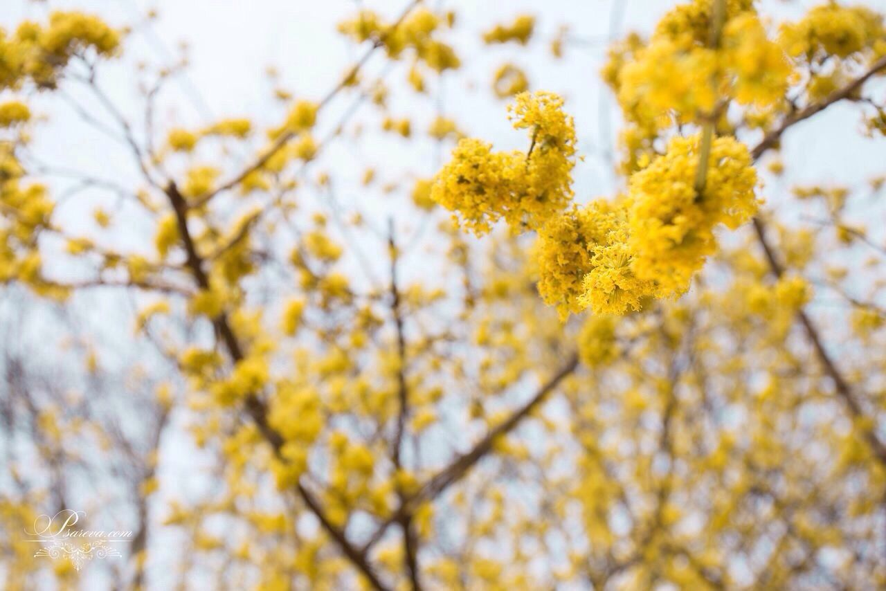 yellow, flower, nature, beauty in nature, tree, growth, fragility, springtime, branch, blossom, outdoors, no people, low angle view, day, tranquility, freshness, plant, close-up, backgrounds, sky