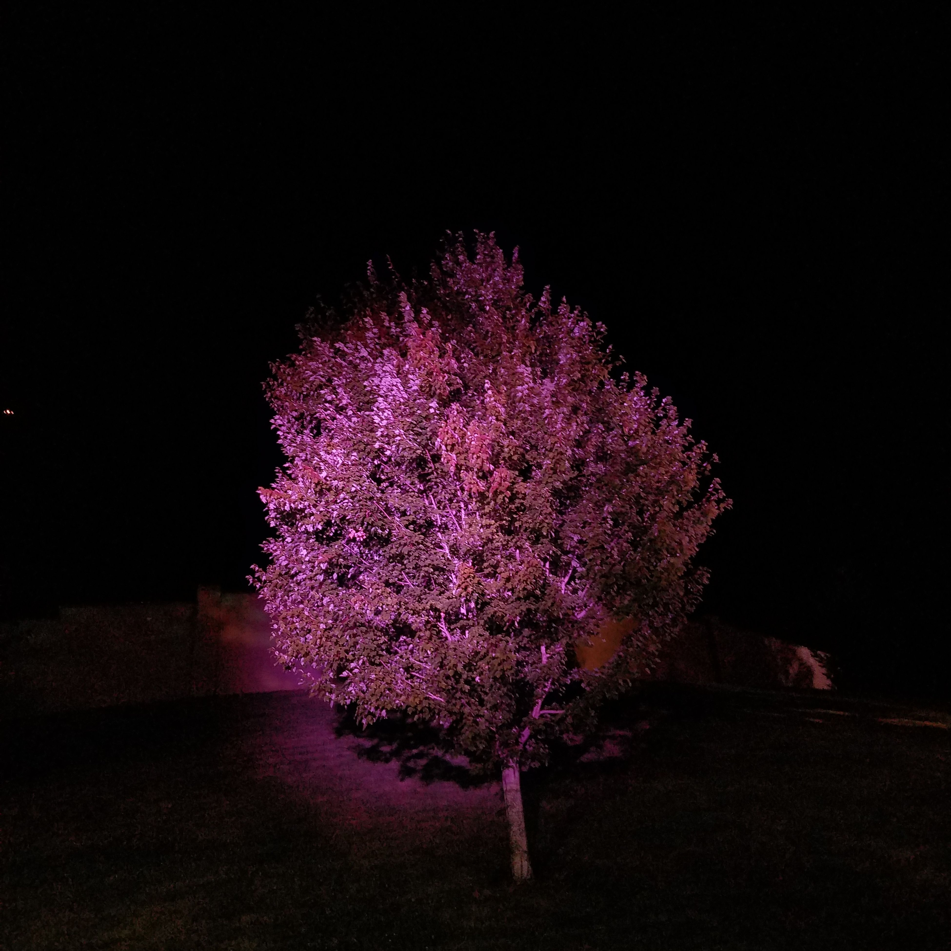 night, no people, growth, tree, flower, beauty in nature, illuminated, nature, purple, outdoors, fragility, sky, freshness