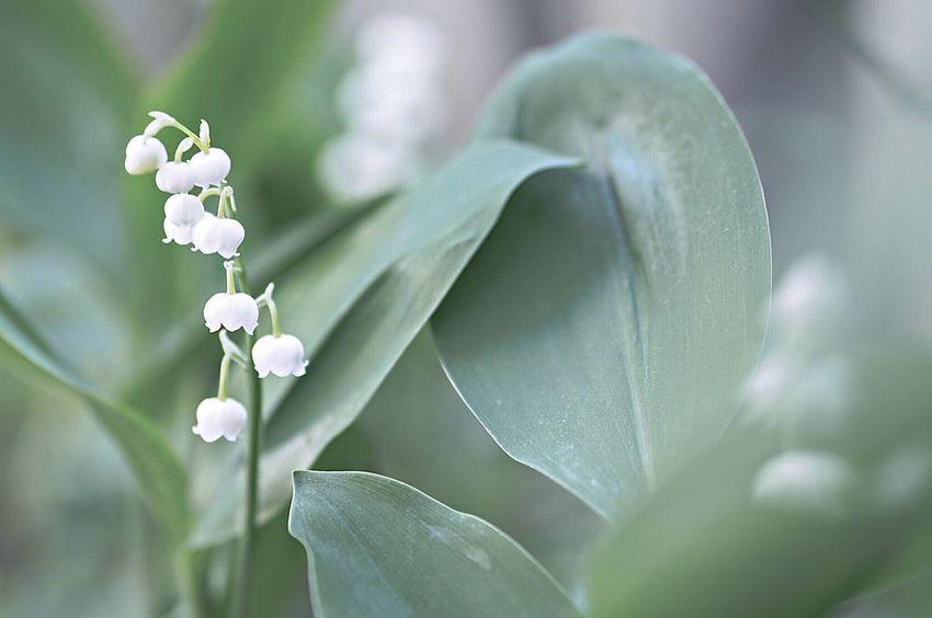 Lily Of The Valley Flowers Spring Flowers Flower Collection EyeEm Nature Lover EyeEm Best Shots EyeEmBestPics EyeEm Gallery Flowerporn Flower Spring Taking Photos