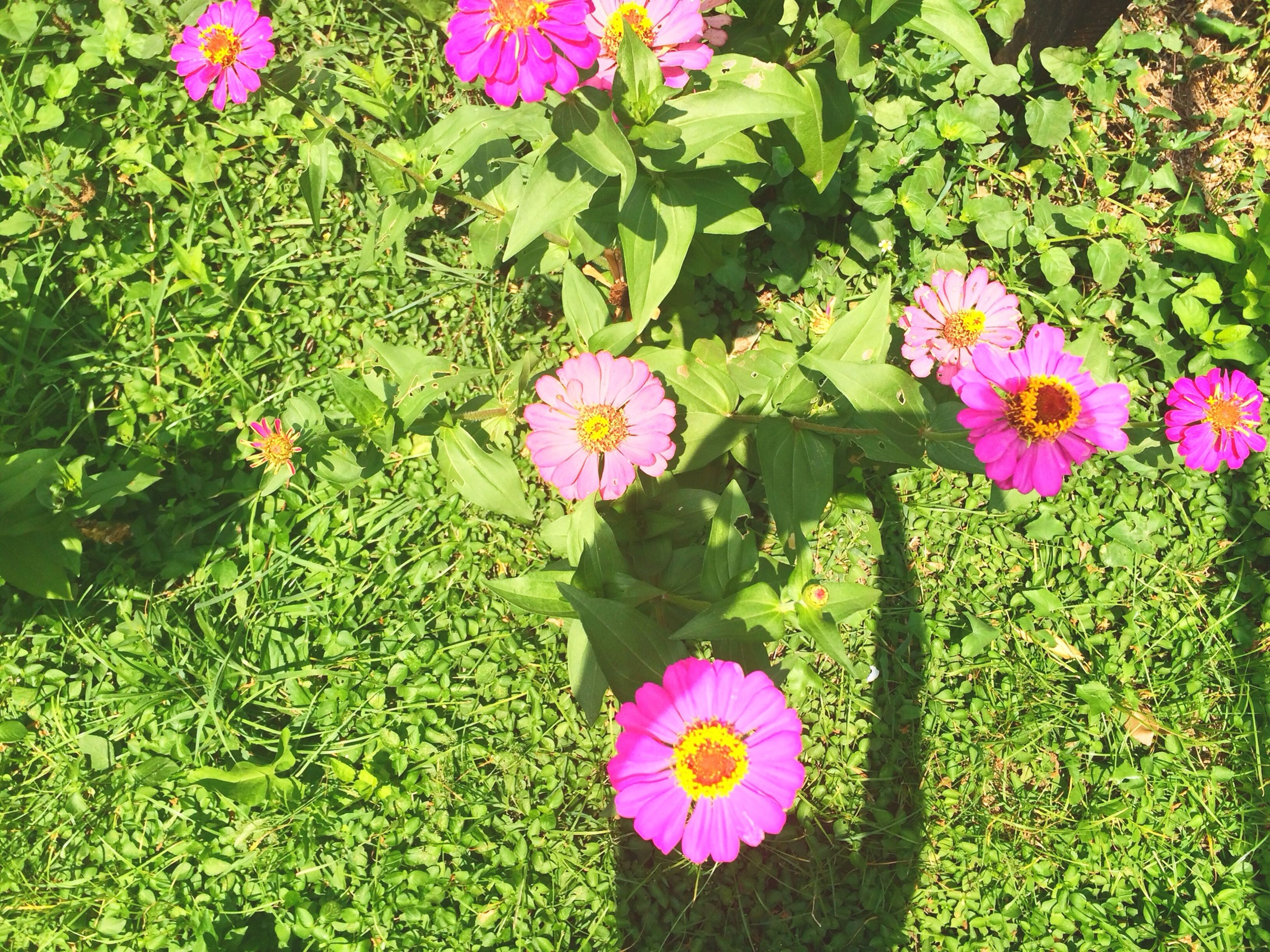 flower, freshness, growth, fragility, petal, beauty in nature, pink color, green color, leaf, plant, nature, blooming, flower head, high angle view, in bloom, purple, park - man made space, blossom, field, springtime