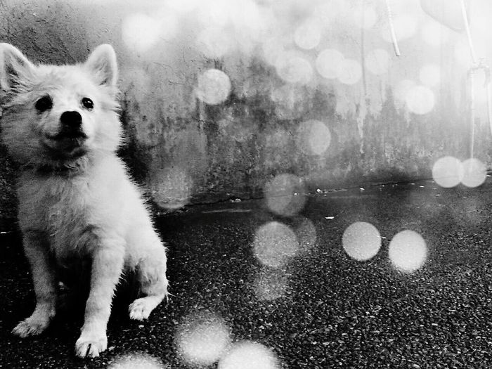 What are you looking at snow? Blackandwhite Photography Japanesspitz Cheese! Taking Photos PhonePhotography Asus Zenfone Photography Snow