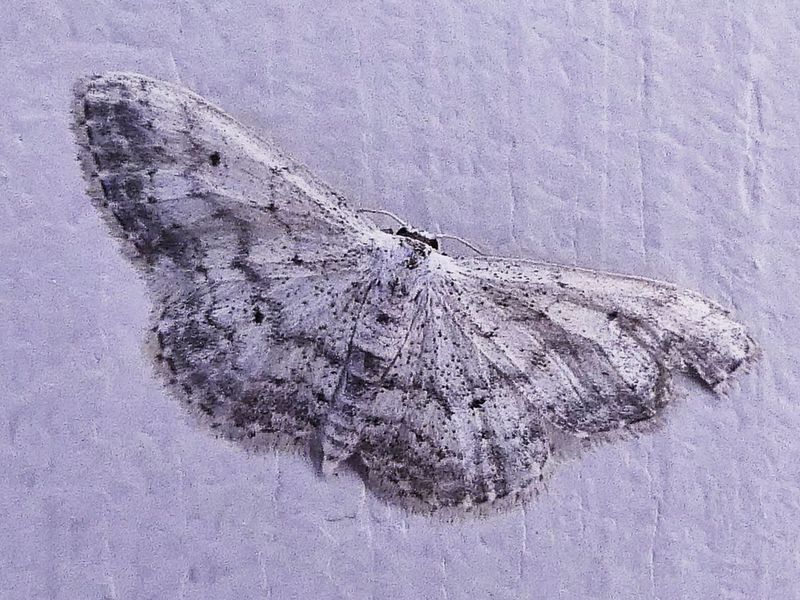 Betterfly Papillon Papillon De Nuit Insect Macro