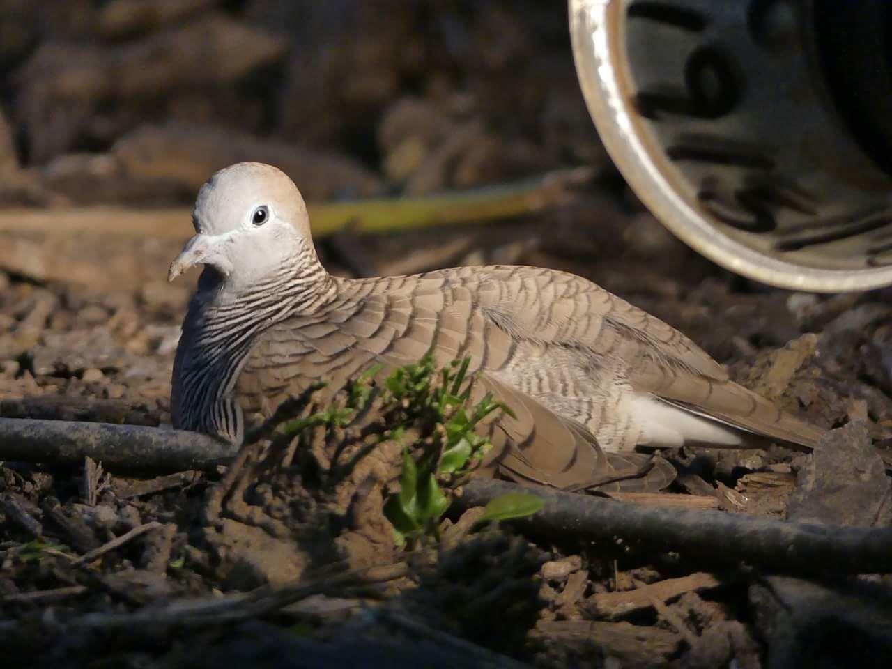 Beautiful stock photos of dove,  Animal Head,  Animal Themes,  Animal Wildlife,  Animals In The Wild