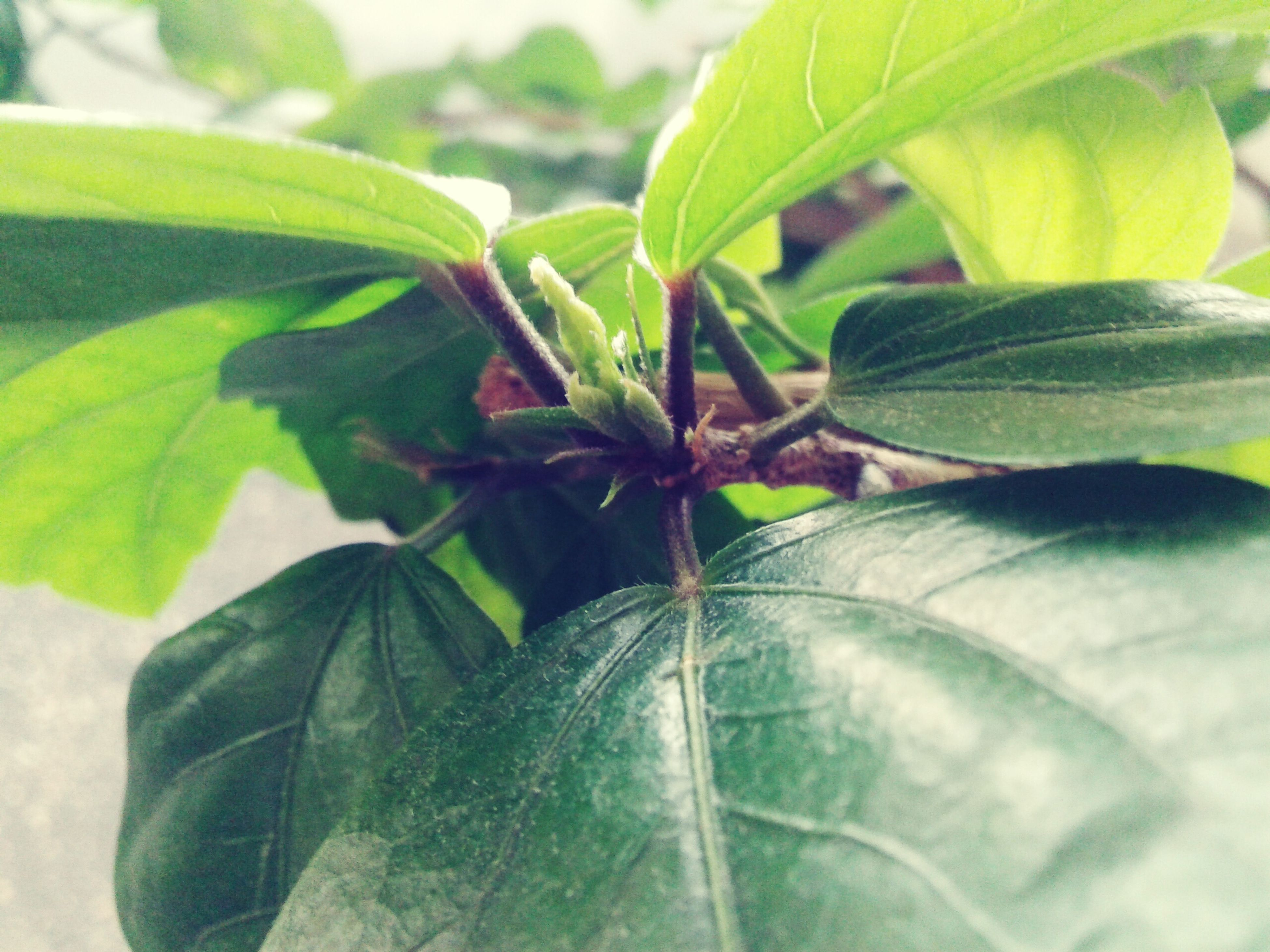 leaf, green color, growth, plant, close-up, leaf vein, freshness, nature, focus on foreground, beauty in nature, leaves, natural pattern, no people, green, day, outdoors, fragility, botany, sunlight, growing
