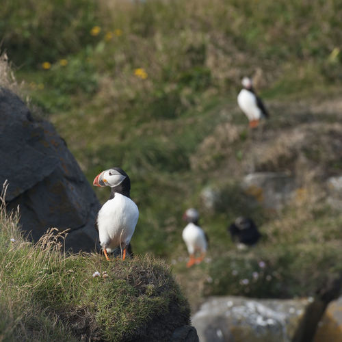 Nikon Animal Themes Animal Wildlife Animals In The Wild Bird Bird Of Prey Close-up Day Nature No People One Animal Outdoors Perching Puffins Seagull