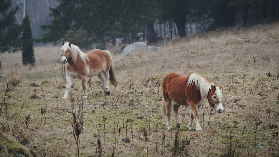2017 Februari Niklas Showcase February 2017 Björkvik Sweden Animal Themes Domestic Animals Mammal Livestock Beauty In Nature Nature Herbivorous Outdoors Horse BYOPaper! Breathing Space The Week On EyeEm Been There. Perspectives On Nature Shades Of Winter