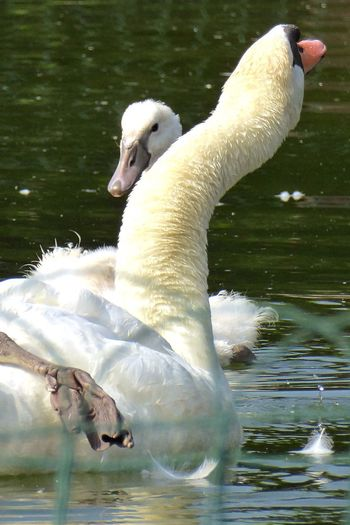 Italy🇮🇹 Swan Bird Animal Themes Lake Animals In The Wild Water Water Bird Swimming Nature Beak Togetherness No People Day Close-up Outdoors Mother Swan With Her Baby Fresh On Eyeem  Peacefull Bird Babyswans Swimming Young Animal Animals In The Wild Verona Swans On The Lake