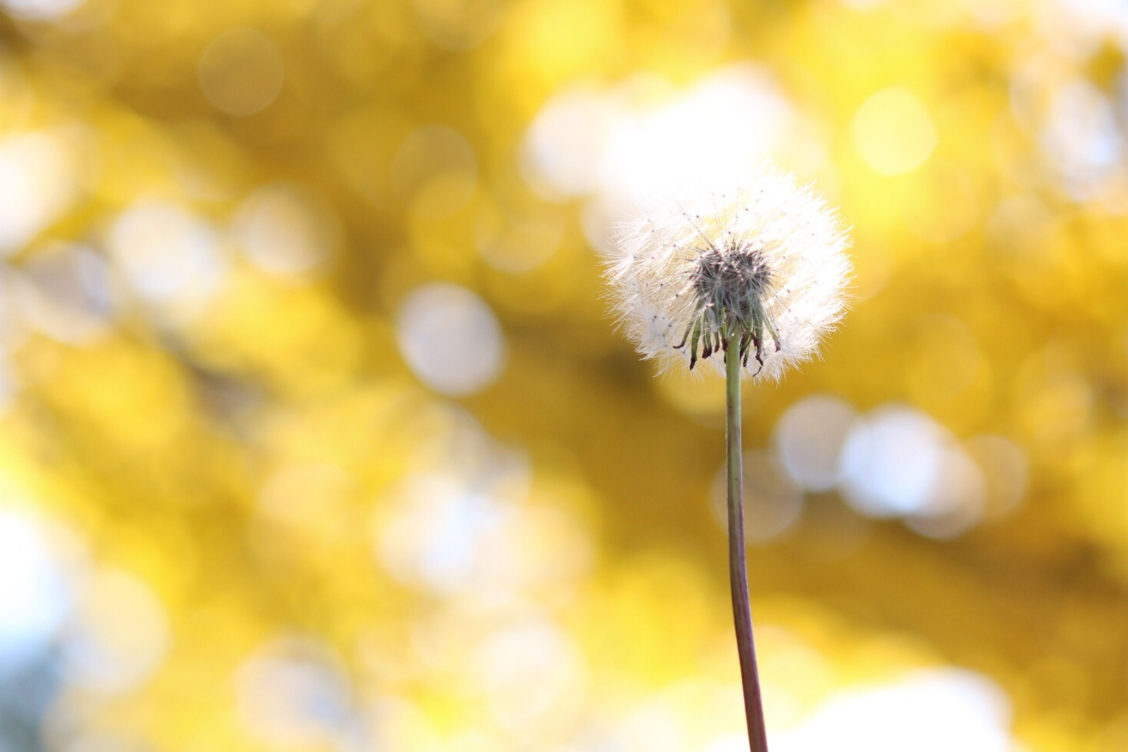 flower, dandelion, fragility, growth, focus on foreground, flower head, freshness, close-up, stem, beauty in nature, nature, single flower, selective focus, plant, outdoors, blooming, in bloom, wildflower, softness, no people