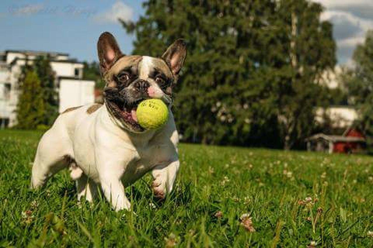 Frenchie French Bulldog Bulldog Dog Dogandball Happiness