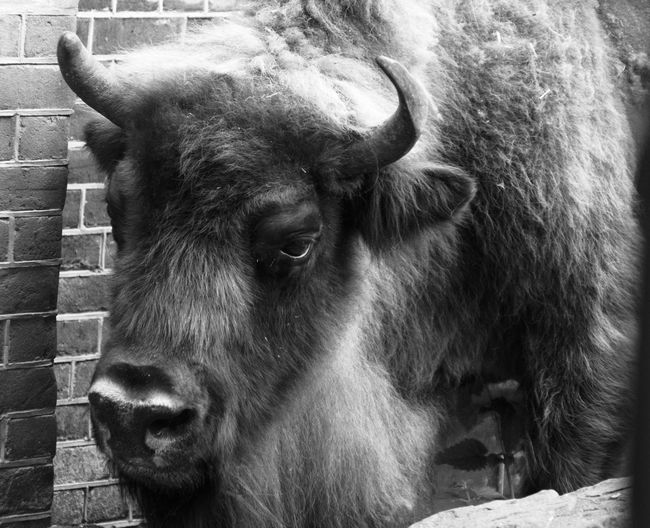 Artis  Zoo Wisent Dead Blackandwhite Animal Cow