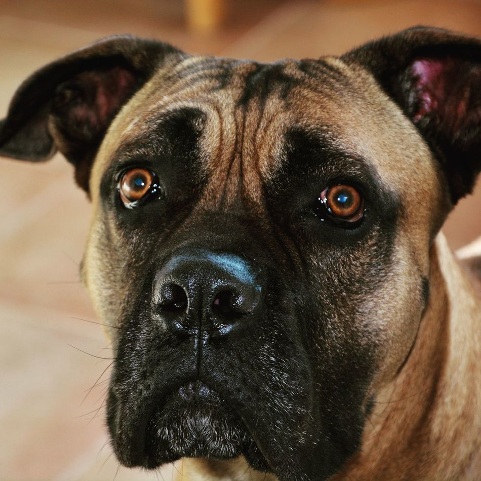 Pets Domestic Animals One Animal Dog Looking At Camera Portrait No People Bullmastiff Dogs Dog Portrait Dogseyes