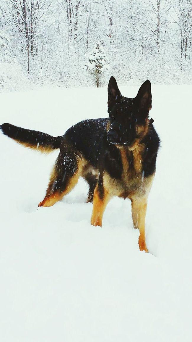 German Shepherd Playinginthesnow Dogslife Dog Days Dogoftheday Lovemydogs Love❤