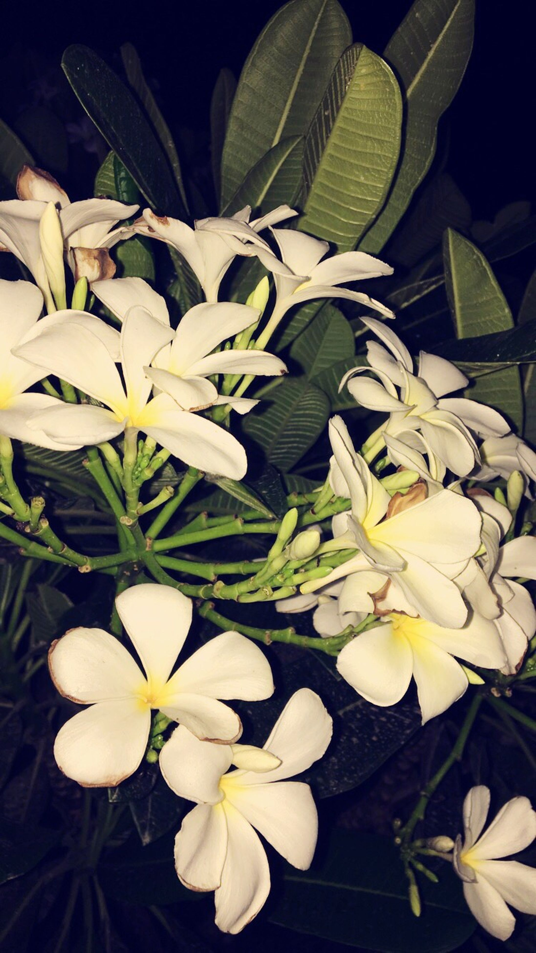 flower, petal, white color, freshness, beauty in nature, flower head, fragility, nature, plant, no people, growth, leaf, close-up, bouquet, blooming, outdoors, day, frangipani