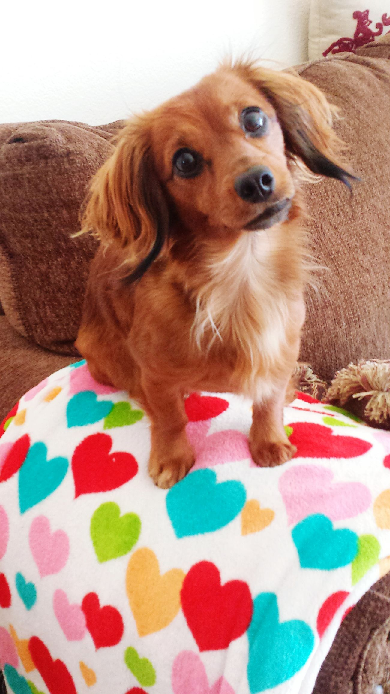Babygirl Sasha  Daschund Tiny 3yearsold Besutiful_hair Brown Bigbrowneyes Super_cute Dogs Family Hearts Love Couch_life Natural Hair