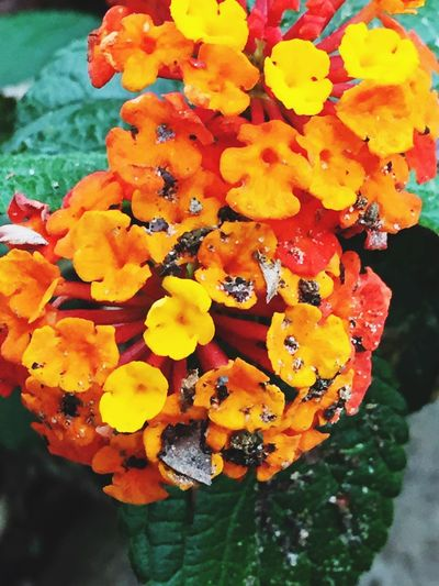 Flower Nature Freshness Beauty In Nature Petal Fragility Flower Head Orange Color Close-up Outdoors Plant Day No People Blooming Yellow Marigold Lantana Camara Water Mix Yourself A Good Time Mix Yourself A Good Time