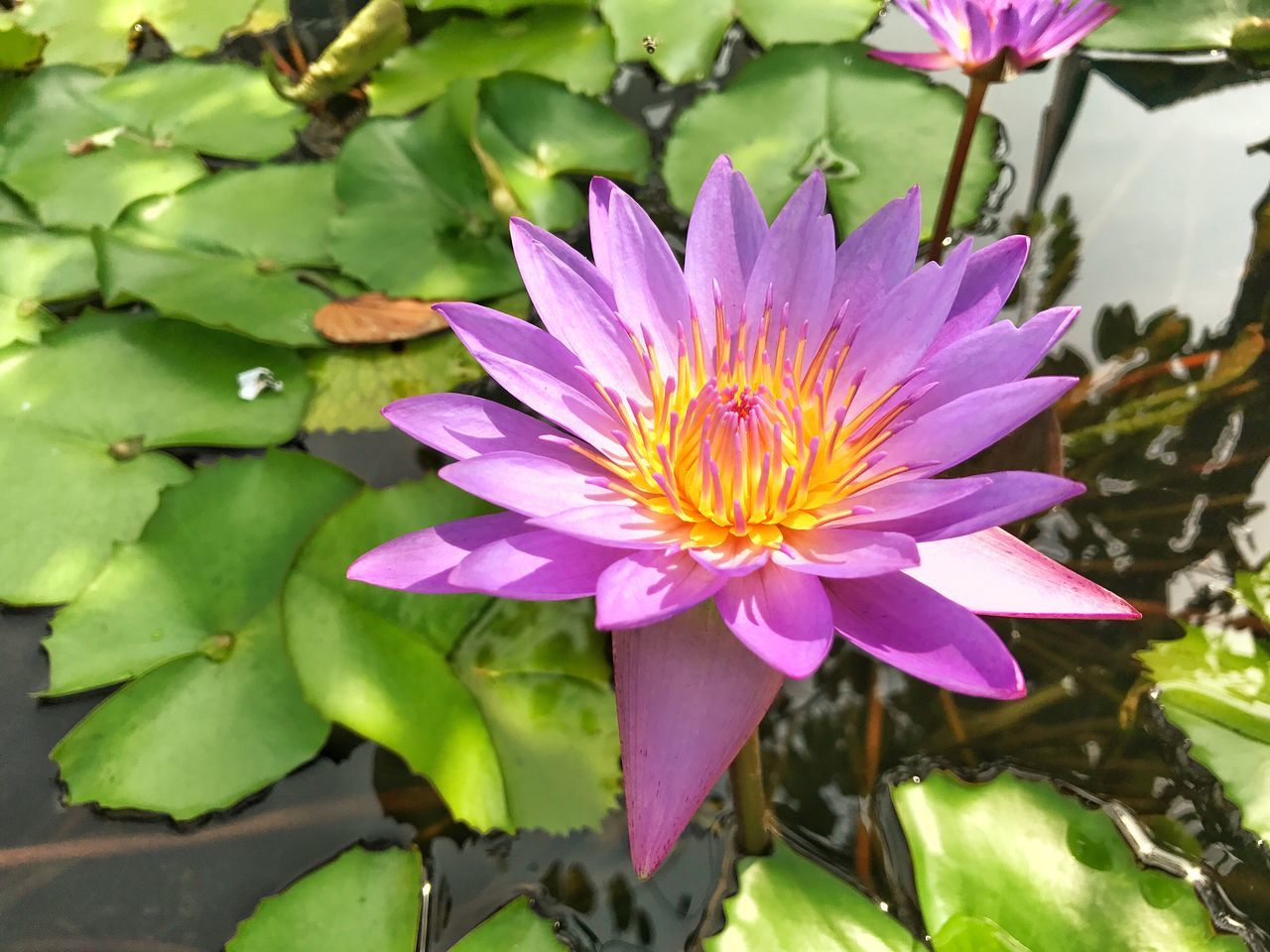 flower, beauty in nature, nature, petal, growth, fragility, freshness, leaf, flower head, plant, purple, no people, outdoors, pink color, day, blooming, water lily, close-up, lotus water lily, water