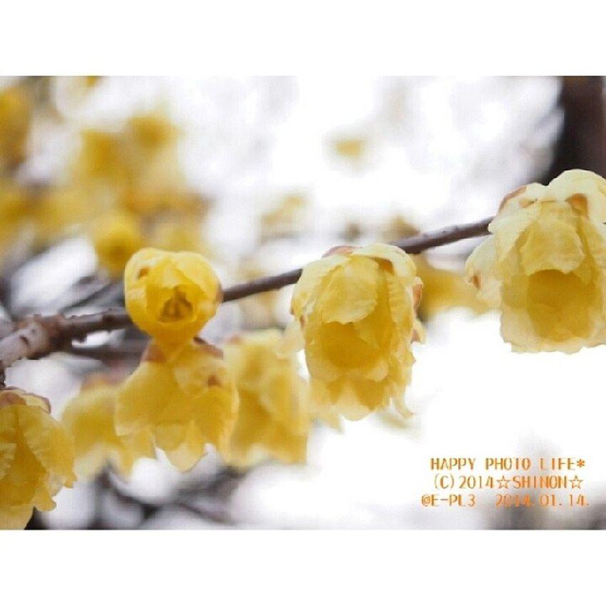 曇り空の下で * 実家の蝋梅 空は曇っていても 満開の蝋梅の木からは 春の薫りがふわりふわり 蝋梅大好き(*´ω`*) * 実家 満月蝋梅 蝋梅 黄色 花 yellow flower オリンパス OLYMPUS PEN_E_PL3 photograph my_pic