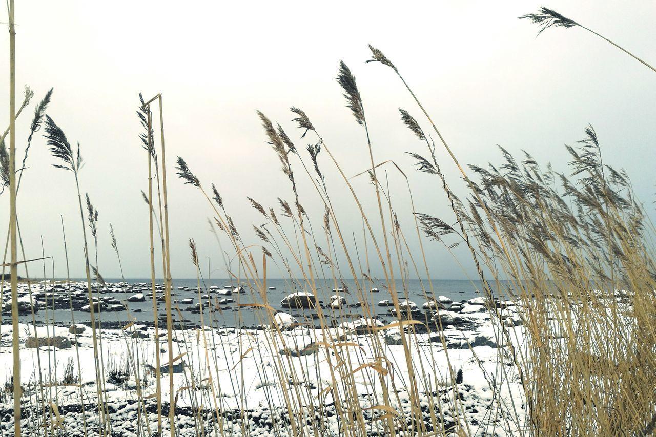 Rocks Sea Coastline Snow Rocks In The Sea Snowy Rocks Calm Sea Winter Seaside Calming View Reeds By Water Sneak Peek