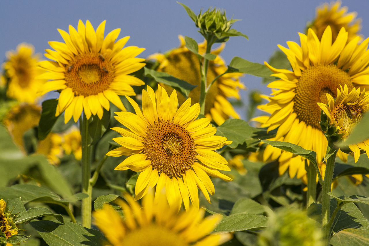 Beautiful stock photos of sunflower, Beauty In Nature, Blooming, Day, Flower