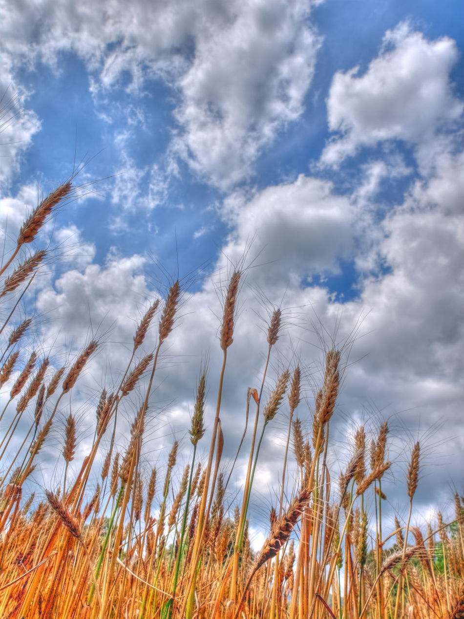 Agriculture Beauty In Nature Cebada Cereal Cloud Crop  Espiga Farm Field Growing Growth Majestic Nature No People Outdoors Plant Rural Scene Sky Tranquil Scene Tranquility Trigo
